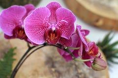 Härlig purpurfärgad orkidé - phalaenopsis Arkivfoton