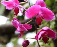 Härlig purpurfärgad orkidé - phalaenopsis Fotografering för Bildbyråer