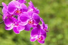 Härlig purpurfärgad orkidéblomma på ljuset - grön backround Arkivbild