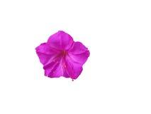 Härlig purpurfärgad petuniablomma Royaltyfri Bild
