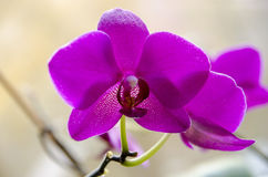 Härlig purpurfärgad Phalaenopsisorkidé arkivfoto