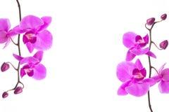 Härlig purpurfärgad ram för Phalaenopsisorkidéblommor som isoleras på vit bakgrund royaltyfria bilder