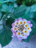 Härlig purpurfärgad rosa färg- och vitlantanakokong blommar Arkivfoton