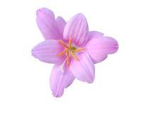 Härlig purpurfärgad rosa Zephyranthes blomma Royaltyfria Bilder