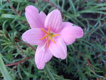 Härlig purpurfärgad rosa Zephyranthes blomma Royaltyfri Bild