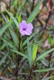 Härlig purpurfärgad Ruellia enkelsidig blomma i trädgården arkivfoto
