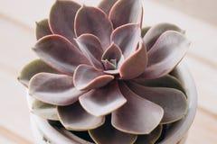 Härlig purpurfärgad suckulent royaltyfri foto