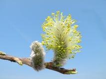 Härlig pussypil i våren, Litauen Royaltyfri Bild
