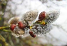 Härlig pussypil i våren, Litauen Arkivfoton