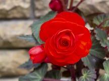 Härlig röd begoniablomma på suddig bakgrund arkivfoton