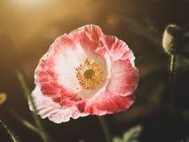 Härlig röd blomma Royaltyfri Bild