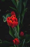 Härlig röd blomma Arkivbilder