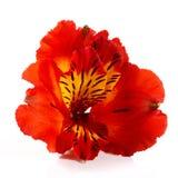 Härlig röd blomma av alstroemeria på en vit bakgrund royaltyfri fotografi
