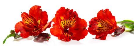 Härlig röd blomma av alstroemeria på en vit bakgrund arkivfoto