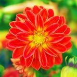 Härlig röd blomma i en trädgård Fotografering för Bildbyråer