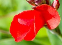 Härlig röd blomma i natur Fotografering för Bildbyråer
