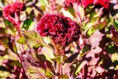 Härlig röd blomma i solen Fotografering för Bildbyråer