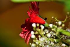 Härlig röd blomma med mindre vita blommor Arkivbilder