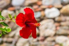 Härlig röd blommahibiskus Arkivbild