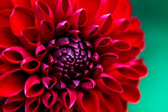 Härlig röd dahlianärbild Fotografering för Bildbyråer