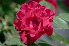 H?rlig r?d dubbel blomma av en ros fotografering för bildbyråer