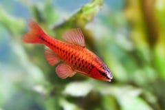 Härlig röd fisk på mjuk bakgrund för gröna växter Manlig tagg som simmar den tropiska sötvattens- akvariumbehållaren Puntius Royaltyfri Bild