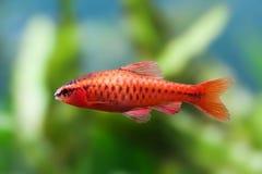Härlig röd fisk på mjuk bakgrund för gröna växter Manlig tagg som simmar den tropiska sötvattens- akvariumbehållaren Puntius Fotografering för Bildbyråer