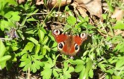 Härlig röd fjäril, Litauen Arkivfoton