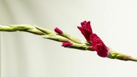 Härlig röd gladiole