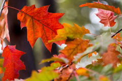 Härlig röd gul orange bakgrund för höstsidor Royaltyfri Foto