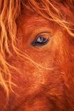 Härlig röd häst för öga i vinter utomhus Arkivfoto