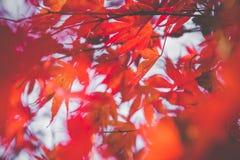 Härlig röd höstleaf arkivfoto