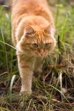 Härlig röd katt på gräset Arkivbild