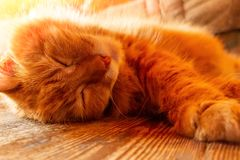 Härlig röd katt som sover på trägolvet, closeup royaltyfri bild