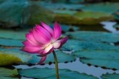 Härlig röd lotusblomma Arkivfoto