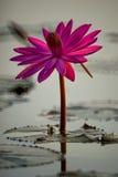 Härlig röd lotusblomma Royaltyfria Bilder