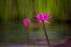 Härlig röd lotusblomma Royaltyfria Foton