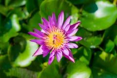 Härlig röd lotusblomma med svart & vit bakgrund Fotografering för Bildbyråer