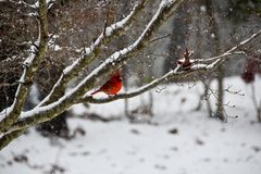 Härlig röd manlig huvudsaklig fågel på filial i snön royaltyfri foto