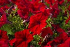 Härlig röd miljon klockablomma, calibrachoa Vår med många blom i vår Fotografering för Bildbyråer