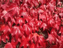 Härlig röd murgröna royaltyfria foton
