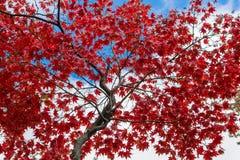 Härlig röd nedgånglövverk, under höst i Upstate New York, NY, USA royaltyfri fotografi
