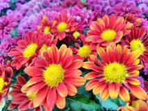 Härlig röd och gul blommabakgrund stock illustrationer