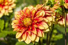 Härlig röd och gul dahlia Royaltyfria Bilder