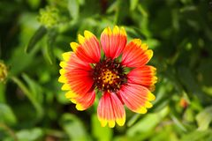 Härlig röd och gul lös blomma Arkivfoto