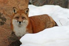 Härlig röd räv i snön Fotografering för Bildbyråer