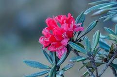Härlig röd rhododendron Royaltyfri Fotografi