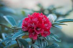 Härlig röd rhododendron Royaltyfria Foton
