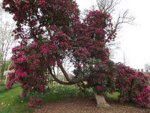 Härlig röd rhododendron Arkivfoto
