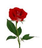Härlig röd ro för singel Royaltyfri Fotografi